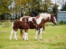 foal μητέρα Στοκ φωτογραφία με δικαίωμα ελεύθερης χρήσης