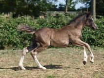 foal ουαλλικά Στοκ Φωτογραφία