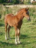 foal ουαλλικά Στοκ φωτογραφία με δικαίωμα ελεύθερης χρήσης