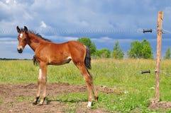 Foal πίσω από τον ηλεκτρικό φράκτη Στοκ Εικόνες