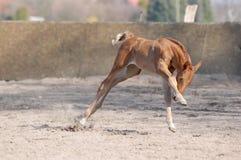 foal παραληρόν στοκ εικόνες