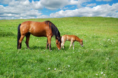 foal πεδίων άλογο στοκ φωτογραφίες