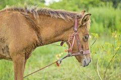 foal πεδίων λίγα αρκετά κόκκινα Στοκ Φωτογραφία