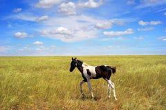 foal πεδίων Στοκ εικόνα με δικαίωμα ελεύθερης χρήσης