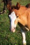 Foal πορτρέτο Στοκ Φωτογραφίες