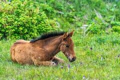Foal που βρίσκεται στη χλόη Στοκ Φωτογραφία