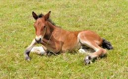 Foal που βρίσκεται στη χλόη Στοκ φωτογραφίες με δικαίωμα ελεύθερης χρήσης