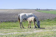 Foal που θηλάζει τη βοσκή μητέρων του Στοκ Εικόνες