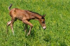 Foal που κάνει τα πρώτα βήματα σε ένα λιβάδι άνοιξη Στοκ Εικόνες