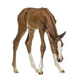 Foal που κοιτάζει κάτω Στοκ Εικόνες