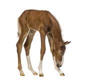 Foal που κοιτάζει κάτω Στοκ φωτογραφία με δικαίωμα ελεύθερης χρήσης