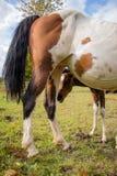 Foal που προετοιμάζεται να ταΐσει Στοκ Εικόνα