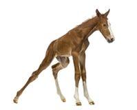 Foal που στέκεται επάνω και που ισορροπεί Στοκ εικόνες με δικαίωμα ελεύθερης χρήσης
