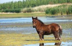 Foal που στέκεται στο νερό Στοκ φωτογραφία με δικαίωμα ελεύθερης χρήσης