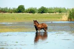 Foal που στέκεται στο νερό Στοκ Φωτογραφίες