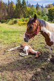 Foal που στηρίζεται στο έδαφος δίπλα στη μητέρα του Στοκ Εικόνες