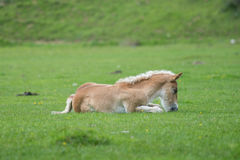 Foal που στηρίζεται στο λιβάδι Στοκ Εικόνες