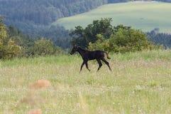 Foal που τρέχει μέσω ενός λιβαδιού Στοκ Εικόνες