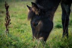 Foal που τρώει τη χλόη Στοκ Φωτογραφίες