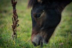 Foal που τρώει τη χλόη Στοκ Φωτογραφία