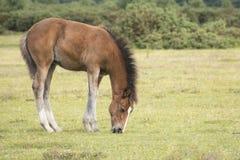 Foal πόνι στο νέο δάσος Στοκ Εικόνα