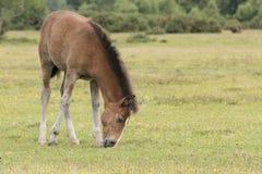 Foal πόνι στο νέο δάσος Στοκ φωτογραφία με δικαίωμα ελεύθερης χρήσης