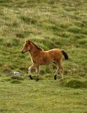 Foal πόνι Dartmoor κόλπων στοκ εικόνες