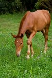 Foal σίτιση Στοκ φωτογραφία με δικαίωμα ελεύθερης χρήσης