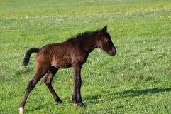Foal σε ένα λιβάδι Στοκ Φωτογραφίες