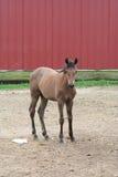 foal σιταποθηκών κοντά στις κό στοκ φωτογραφίες με δικαίωμα ελεύθερης χρήσης