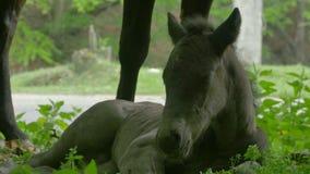 Foal στη χλόη απόθεμα βίντεο