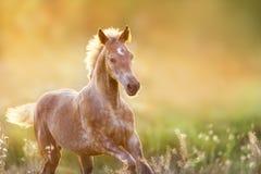 Foal στο φως ηλιοβασιλέματος στοκ φωτογραφίες
