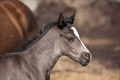 foal τέταρτο αλόγων Στοκ εικόνα με δικαίωμα ελεύθερης χρήσης