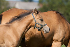 foal τέταρτο αλόγων Στοκ Εικόνες