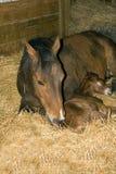 foal τέταρτο φοράδων αλόγων Στοκ Εικόνα