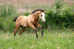 foal τρέξιμο Στοκ Φωτογραφία