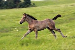 foal τρέξιμο Στοκ φωτογραφία με δικαίωμα ελεύθερης χρήσης