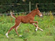 Foal τρεξίματος Στοκ φωτογραφίες με δικαίωμα ελεύθερης χρήσης