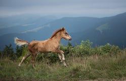 Foal τρεξίματος Στοκ φωτογραφία με δικαίωμα ελεύθερης χρήσης