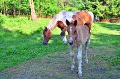 foal φοράδα έγκυος Στοκ Φωτογραφίες