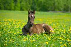 Foal Royalty Free Stock Photo