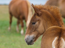 Foal διατρήσεων του Σάφολκ Στοκ φωτογραφία με δικαίωμα ελεύθερης χρήσης
