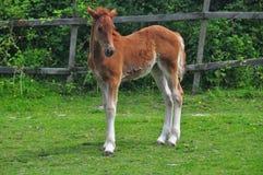 Foal Fotografie Stock