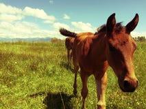 foal Fotografia Stock Libera da Diritti