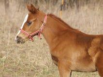 Free Foal Stock Photo - 13719720