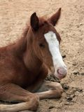 A foal. A small foal - helplessness baby animal Stock Image