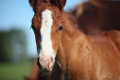 Foal. With mother grazing on meadow royalty free stock photography