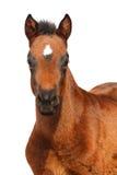 foal απομόνωσε το λευκό Στοκ Εικόνες