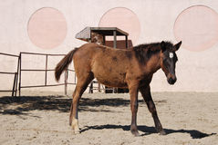 Foal. Six month old brown foal with winter coat royalty free stock photography
