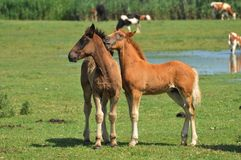 Foal. Two beautiful foal on pasture Stock Image
